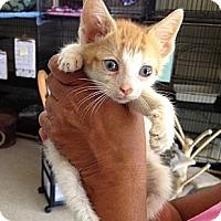 Adopt A Pet :: Bows - Island Park, NY