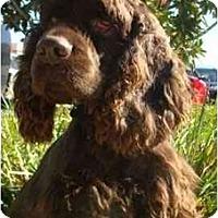 Adopt A Pet :: Porter - Sugarland, TX