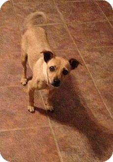 Terrier (Unknown Type, Small)/Chihuahua Mix Dog for adoption in Garland, Texas - Macy