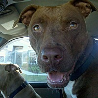 Pit Bull Terrier Mix Dog for adoption in Lakeland, Florida - Sweet Pea