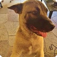 Akita Mix Dog for adoption in Garland, Texas - Batman