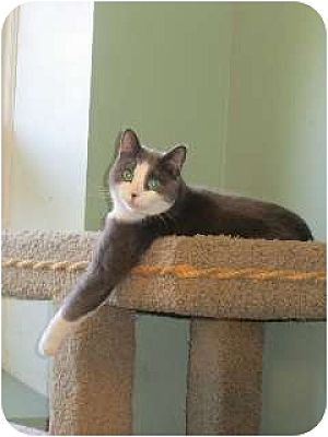 Domestic Shorthair Cat for adoption in Port Republic, Maryland - Max Parker