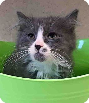 Domestic Longhair Kitten for adoption in Gahanna, Ohio - Oscar