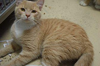 Domestic Shorthair Cat for adoption in Pottsville, Pennsylvania - Buster