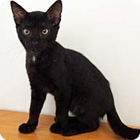 Domestic Shorthair Kitten for adoption in Merrifield, Virginia - Cricket