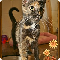 Domestic Shorthair Cat for adoption in Shippenville, Pennsylvania - Stella
