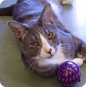 Domestic Shorthair Cat for adoption in Westminster, Colorado - Jack