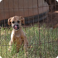 Boxer/Terrier (Unknown Type, Medium) Mix Puppy for adoption in Pikeville, Maryland - Rachel