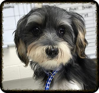 Yorkie, Yorkshire Terrier/Maltese Mix Dog for adoption in Los Alamitos, California - Shai