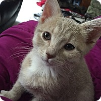 Domestic Shorthair Kitten for adoption in Tampa, Florida - Trooper