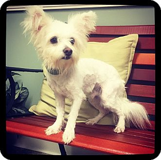 Maltese/Yorkie, Yorkshire Terrier Mix Dog for adoption in Grand Bay, Alabama - Turtle