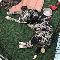 Adopt A Pet :: Tank - Lincolnton, NC