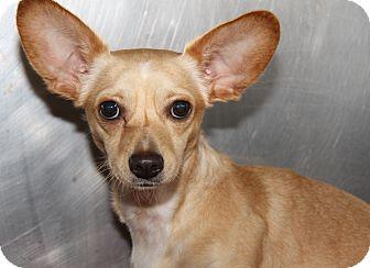 Chihuahua/Dachshund Mix Dog for adoption in Marietta, Ohio - Princess (Spayed)
