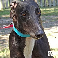 Greyhound Dog for adoption in Cherry Hill, New Jersey - Hawk 'Archer'