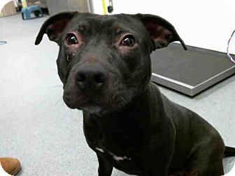 Pit Bull Terrier Dog for adoption in Tulsa, Oklahoma - BUBBLES