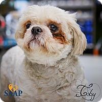 Shih Tzu Dog for adoption in Newport, Kentucky - Toby