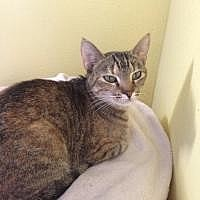Domestic Mediumhair Cat for adoption in Port Richey, Florida - Missy