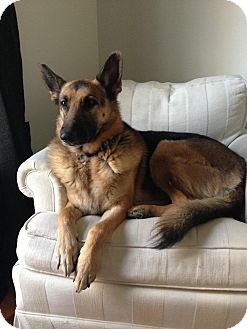 German Shepherd Dog Dog for adoption in Nashville, Tennessee - Marley