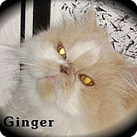 Adopt A Pet :: Ginger (Front Paw Declaw) - Beverly Hills, CA