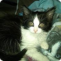 Adopt A Pet :: Adele - Sterling Hgts, MI