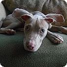 Adopt A Pet :: GREY