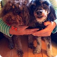 Adopt A Pet :: Bonded Poodles - Santa Monica, CA