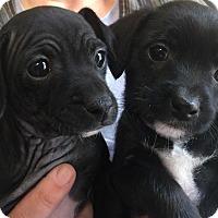 Adopt A Pet :: Colt - Santa Rosa, CA