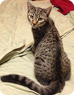 Domestic Shorthair Cat for adoption in Burbank, California - Foxy