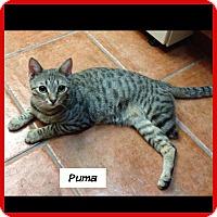 Adopt A Pet :: Puma - Miami, FL