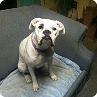 Adopt A Pet :: White Female (Courtesy Listing) - Brentwood, TN