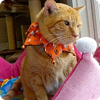 Domestic Shorthair Cat for adoption in St. Charles, Missouri - Rocky