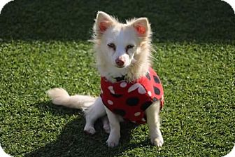 Papillon/Sheltie, Shetland Sheepdog Mix Puppy for adoption in Creston, California - Puppy Puppy