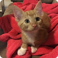 Domestic Shorthair Kitten for adoption in San Angelo, Texas - Finn