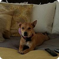 Australian Cattle Dog/Labrador Retriever Mix Dog for adoption in Russellville, Kentucky - June