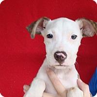 Adopt A Pet :: Trixie - Oviedo, FL