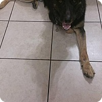 German Shepherd Dog Dog for adoption in Greensboro, North Carolina - Shadow(CL)