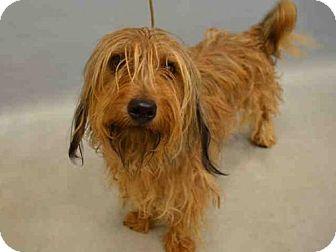Cairn Terrier Mix Dog for adoption in Manhattan, New York - Joey