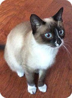 Siamese Cat for adoption in San Diego, California - Laila