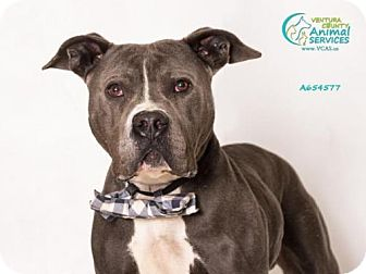 Pit Bull Terrier Dog for adoption in Camarillo, California - *BAYOU