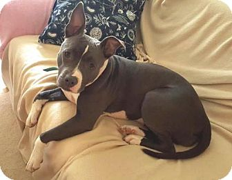 Pit Bull Terrier Mix Dog for adoption in Westmont, Illinois - EMMY