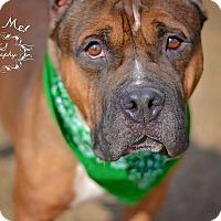 Bullmastiff Mix Dog for adoption in Fort Valley, Georgia - Hoss