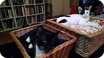 Domestic Shorthair Cat for adoption in Tampa, Florida - Edmund Pevensie