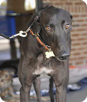 Greyhound Dog for adoption in Lexington, South Carolina - Matt