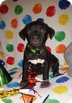 Labrador Retriever/Terrier (Unknown Type, Medium) Mix Puppy for adoption in Detroit, Michigan - Wish