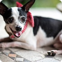 Chihuahua Dog for adoption in Lafayette, Louisiana - Tiny Tim