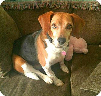 Beagle Dog for adoption in Whitehouse Station, New Jersey - Ryder - great family dog!