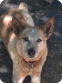 Australian Cattle Dog Dog for adoption in Remus, Michigan - Sr Allaster (ETS Eligible)