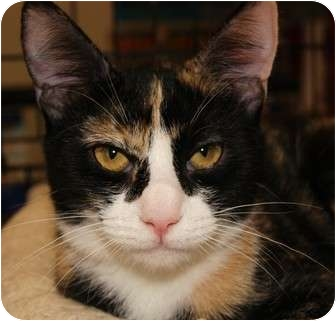 Domestic Shorthair Cat for adoption in San Ramon, California - Primrose
