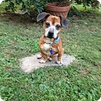 Adopt A Pet :: Mikey - Mount Gretna, PA