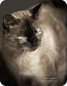 Siamese Cat for adoption in Austin, Texas - Queenie